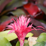 Zbliżenie Aechmea ramosa, Ananasowy flo (Srebny wazowy bromeliad) Fotografia Royalty Free