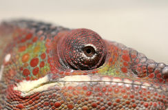 Zbliżenie kameleon Obraz Royalty Free