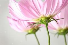 Zbliżenie kosmosów kwiaty Zdjęcie Stock