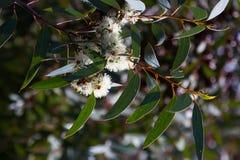 Zbliżenie kwitnąć mydlanego mallee Zdjęcia Stock