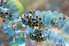 Zbliżenie liścia mallee Zdjęcia Stock