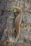 Zbliżenie żyworodnej jaszczurki wspinaczkowy up drzewko palmowe Fotografia Royalty Free