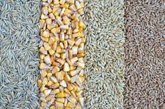 Zboża - owsy, kukurudza, jęczmień, banatka Zdjęcia Stock