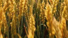 Zbożowej produkcji żyta pszenicznego pola złoty ono ślizga się zbiory