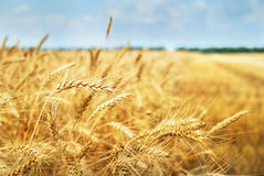 Zbożowy pole. Fotografia brać na 01.07.2013 Zdjęcia Stock
