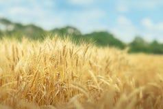 Zbożowy pole w letnim dniu fotografia stock