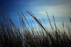 Zbożowy pole w zbliżeniu z niebieskim niebem w tle zdjęcie stock