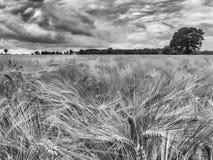 Zbożowy pole z pięknymi chmurami blisko Mechelen Limburg Holandia w BW zdjęcia stock