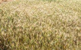 Zbożowy rośliny pole Zdjęcia Royalty Free