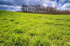 Zbożowego pola zielona trawa i las Zdjęcia Stock