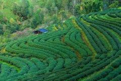 Zbocze herbata w Tajlandia Zdjęcia Royalty Free