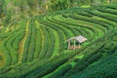 Zbocze herbata w Tajlandia Podążał górami Fotografia Stock
