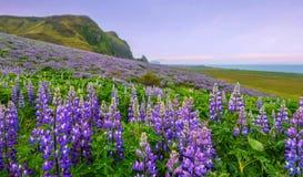 Zbocze zakrywający w lupine wildflowers na południowym wybrzeżu Iceland zdjęcie stock