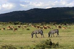 Zèbre dans le masai Mara Photos stock