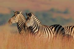 Zèbre de plaines Photo libre de droits