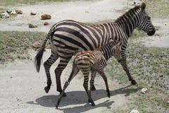 Zèbre nouveau-né de bébé avec sa mère Photos libres de droits