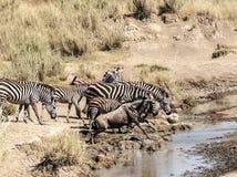 Zèbres et wildebeest Images libres de droits