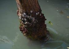 Zbutwiały drzewny bagażnik i brudzi wodę w Wenecja Obrazy Royalty Free