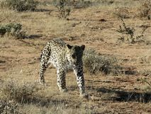 Zdecydowany Afrykański lampart zbliża się przez jałowej suchej trawy w wczesnego poranku świetle przy Okonjima rezerwatem przyrod zdjęcia stock