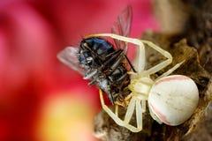 zdobycza pająk fotografia royalty free