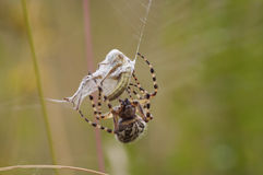 zdobycza pająk Zdjęcie Stock