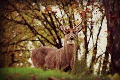 Zdradzona samiec W Dzikim Fotografia Royalty Free
