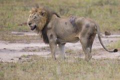 Zdradzonego starego lwa męski lying on the beach w trawie i liże jego rany Obrazy Stock