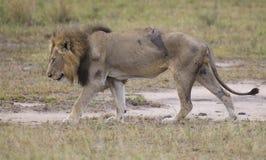 Zdradzonego starego lwa męski lying on the beach w trawie i liże jego rany Obraz Stock
