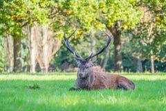Zdradzony Czerwonego rogacza jeleń obrazy royalty free