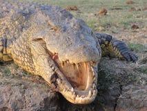 Zdradzony krokodyl Zdjęcie Stock