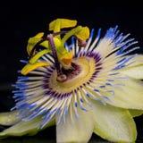 Zdroju pojęcie passiflora kwiat Obrazy Stock