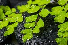 Zdroju pojęcie piękna zieleni gałąź maidenhair i zen ston Zdjęcie Royalty Free