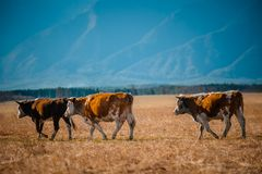 Zdrowa i well nakarmoina krowa na paśniku w górach z selekcyjną ostrością, Obraz Royalty Free
