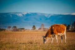 Zdrowa i well nakarmoina krowa na paśniku w górach z selekcyjną ostrością, Fotografia Royalty Free