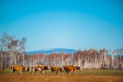 Zdrowa i well nakarmoina krowa na paśniku w górach z selekcyjną ostrością, Obrazy Royalty Free