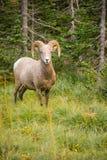 Zdrowa Męska baranu bighorn cakli dzikiego zwierzęcia Montana przyroda Obrazy Royalty Free