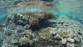 Zdrowa Pacyficzna rafa koralowa zdjęcie wideo