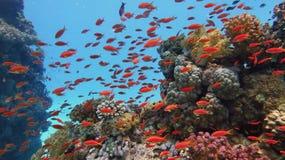 Zdrowa piękna rafa koralowa z tłumu lub czerwonego korala rybą obrazy royalty free