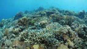 Zdrowa rafa koralowa w Alor, Indonezja zdjęcie wideo