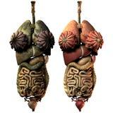 zdrowa wewnętrzna organów choroby kobieta Zdjęcie Royalty Free