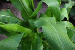 Zdrowa zielona kukurudza opuszcza dorośnięcie w sadzie Fotografia Royalty Free