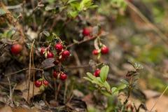 Zdrowe jagody, czeka w lesie Obrazy Royalty Free