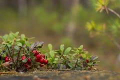 Zdrowe jagody, czeka w lesie Zdjęcie Stock