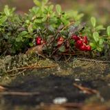 Zdrowe jagody, czeka w lesie Zdjęcie Royalty Free