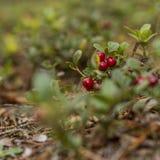 Zdrowe jagody, czeka w lesie Zdjęcia Royalty Free
