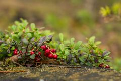 Zdrowe jagody, czeka w lesie Obraz Royalty Free