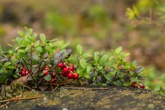 Zdrowe jagody, czeka w lesie Obrazy Stock