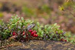 Zdrowe jagody, czeka w lesie Fotografia Stock