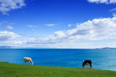 Zdrowe krowy Je Zielonej trawy w letnim dniu Obraz Stock