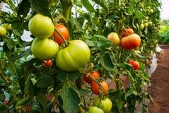 Zdrowe naturalne rosnąć rośliny pomidor Zdjęcie Stock